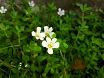 Brahmi stock photography