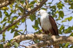 Brahmini-Drachen, der auf einem Baumast hockt Lizenzfreie Stockfotografie