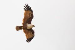 Brahmini kite in flight Royalty Free Stock Photography