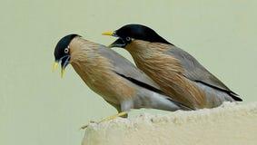 Brahminy椋鸟对 库存照片
