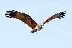 Brahminy风筝飞行在天空的Haliastur印度斯鸟 免版税库存照片