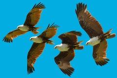 brahminy последовательность змея летания Стоковая Фотография