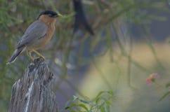 Brahminy che starling Fotografia Stock Libera da Diritti