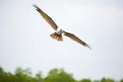 Brahminy Drachen-Adler Stockbilder