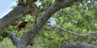 Brahminy-Drachen auf dem Baum Haliastur Indus, alias rot-unterstützte MeeresEagle Lizenzfreie Stockfotos