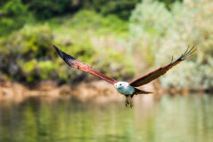 Brahminy-Drachen, der über das Wasser fliegt Stockfoto