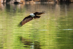 Brahminy-Drachen, der über das Wasser fliegt Lizenzfreie Stockfotos