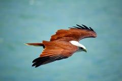 brahminy drakerovfågel Arkivbild