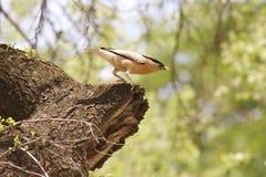 Brahminy het starling; Myna Stock Afbeeldingen