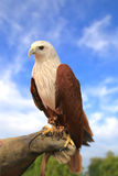 Brahminy kania, Popierający Denny Eagle Fotografia Stock