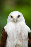 Brahminy Kite 01 Royalty Free Stock Photos
