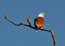 Brahminy Kite Royalty Free Stock Photos