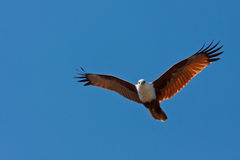 Brahminy Kite Royalty Free Stock Image