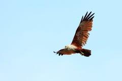 Free Brahminy Kite Stock Photo - 20481990