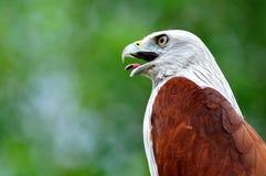 Brahminy Kite. Bird from Thailand Stock Photo