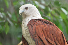 Brahminy Kite Royalty Free Stock Photo
