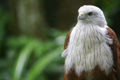 Brahminy Kite Stock Photos