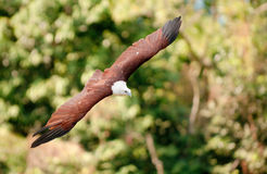 Brahminy Kite. A brahminy kite, also known as the red-backed sea eagle, midair in flight, against lush vegetation Royalty Free Stock Photography