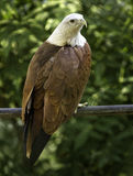 The brahminy kite. Also known as the red-backed sea-eagle in Australia, is a medium-sized bird of prey in the family Accipitridae, which also includes many Royalty Free Stock Images