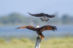 Brahminy kite attack by crow in Pottuvil, Sri Lanka. Specie Haliastur indus, Brahminy kite attack by crow in Pottuvil, Sri Lanka Stock Images