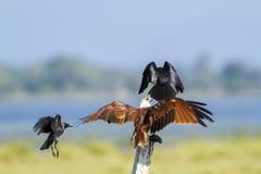 Brahminy kite attack by crow in Pottuvil, Sri Lanka Stock Photos