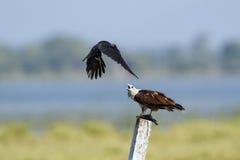 Brahminy kite attack by crow in Pottuvil, Sri Lanka Royalty Free Stock Images