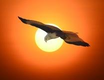 Brahminy kite Stock Photos