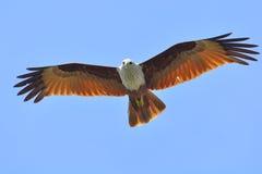 Brahminy Kite Stock Photography