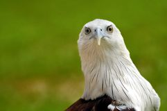 Brahminy Kite Closeup Stock Photo