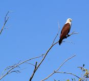 Brahminy kite on dead tree Stock Images