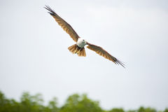 Brahminy Kite Eagle Stock Images