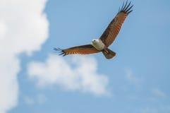 Brahminy Kite. Eagle flying in the sky Stock Image