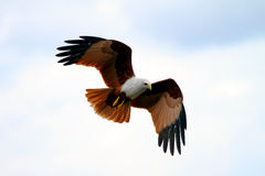A brahminy kite in flight. A brahminy kite, Haliastur indus in mid air, poised to dive at prey royalty free stock image
