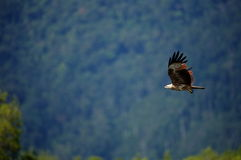 Brahminy Kite in Flight Stock Photography