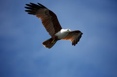 Brahminy Kite in Flight Stock Photography