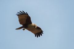 Brahminy kite fly in the blue sky. Brahminy kite flying and watching on the blue sky background royalty free stock photo
