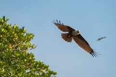 Brahminy kite fly in the blue sky. Selective Focus. Royalty Free Stock Photos