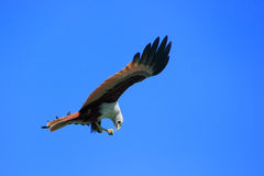 Brahminy Kite flying, Langkawi island, Malaysia Royalty Free Stock Photography