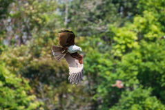 Brahminy kite flying over the water Royalty Free Stock Images