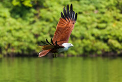 Brahminy kite flying over the water Royalty Free Stock Photo