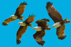 Brahminy kite flying sequence stock photography