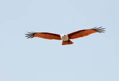 Brahminy kite front view. A brahminy kite, Haliastur Indus, with its wings spread, gliding towards the viewer royalty free stock photography