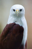 Brahminy kite frontal close up Stock Image