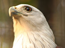 Brahminy Kite - Haliastur Indus Royalty Free Stock Photos