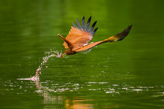 Brahminy kite(Haliastur indus) Stock Photos