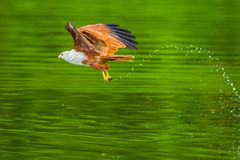 Brahminy kite(Haliastur indus) Stock Photo