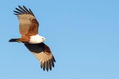 Brahminy Kite (Haliastur indus) in flight. Brahminy kite (Haliastur indus), a species of coastal raptor from Australia, in flight again blue sky Stock Images