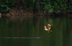 Brahminy kite(Haliastur indus) flying and catching on water Stock Photos
