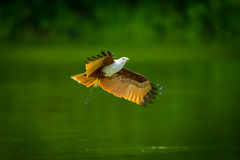 Brahminy kite(Haliastur indus) Royalty Free Stock Photography