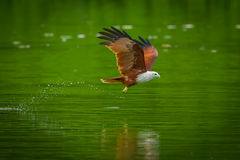 Brahminy kite(Haliastur indus) Royalty Free Stock Photos